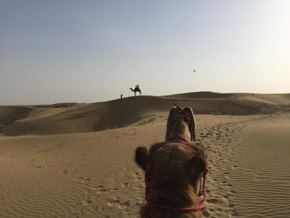 Camel, thar desert, Rajasthan
