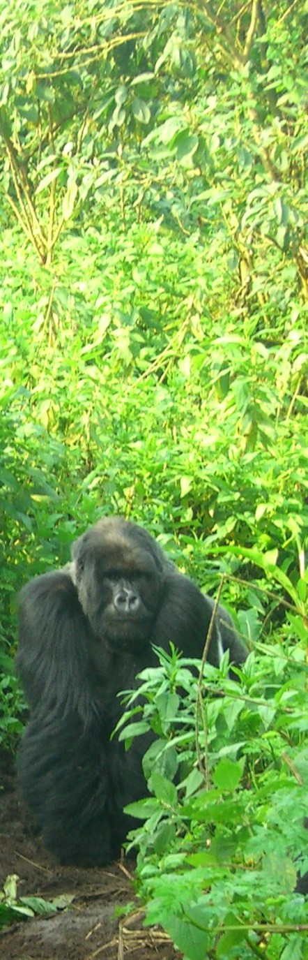 A gorilla in the Virungas in Rwanda
