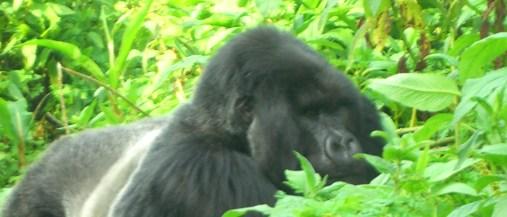 A gorilla in the Viringas, Rwanda