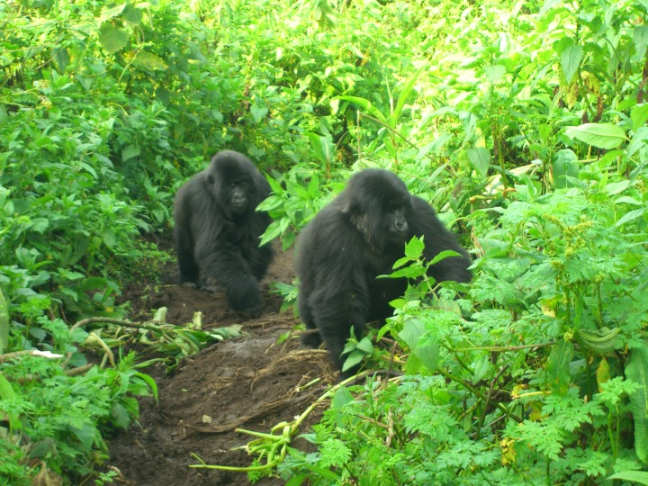 Two gorillas on the lower slopes of a volcano in Rwanda