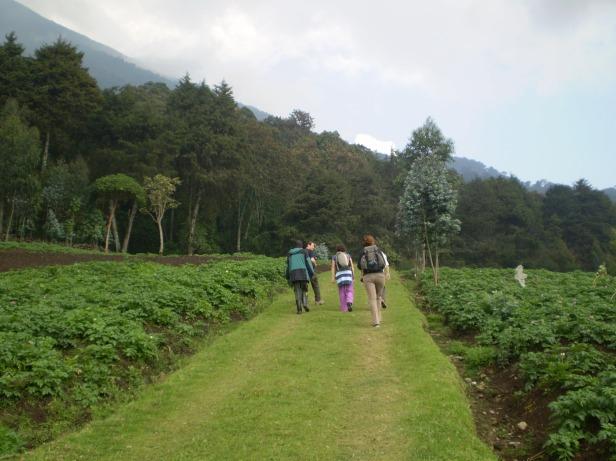 The lower slopes of Karisimbi are arable potato fields