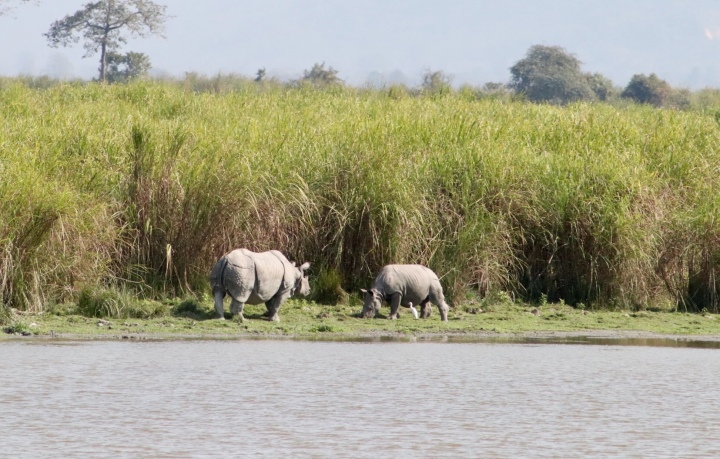 Rhinos grazing in Kaziranga National Park, Assam