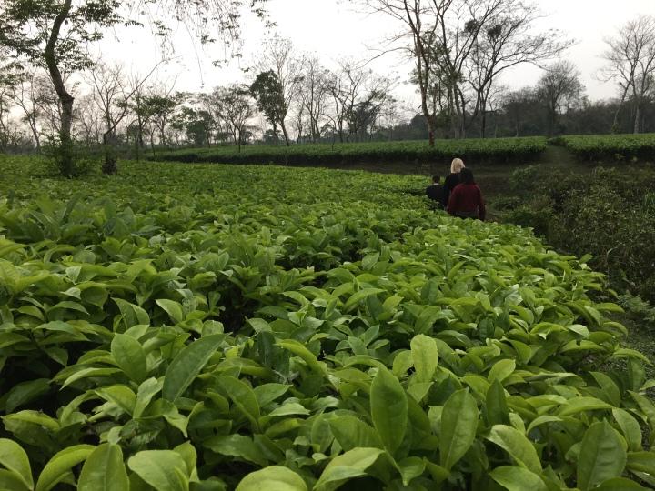 A tea garden in Assam