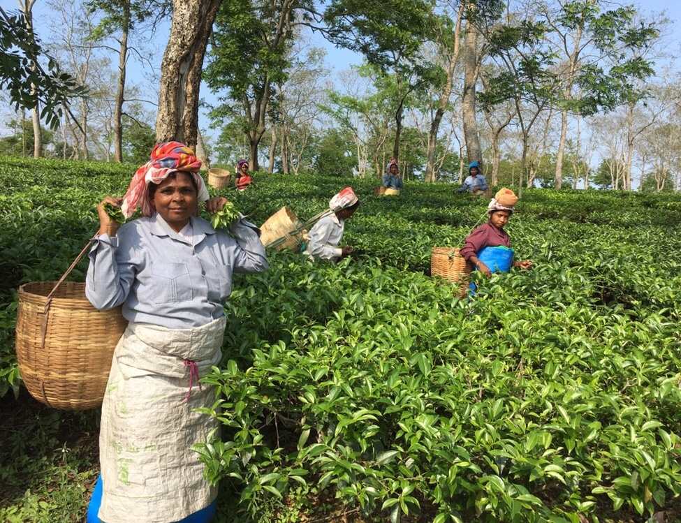 Tea pickers in Assam