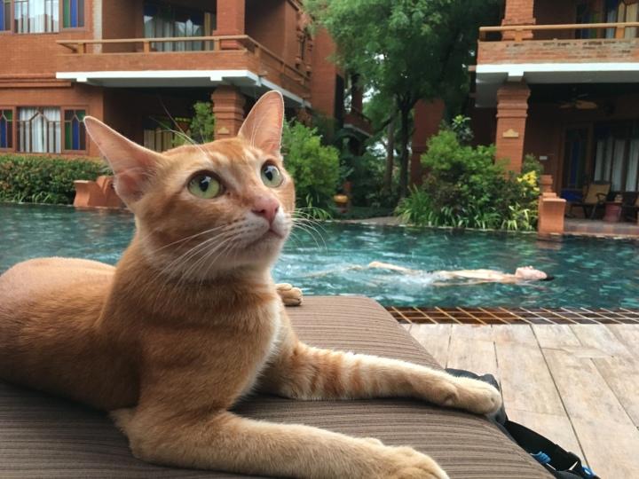 A cat in Bagan, Myanmar, Ananta Hotel in Bagan