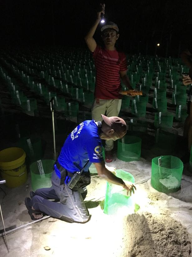 Burying turtle eggs in the hatchery at Selingan Island in Borneo